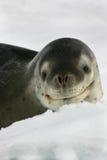 在一座冰山的豹子封印在南极洲 免版税库存图片