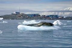 在一座冰山的豹子封印在科学驻地前面 免版税库存图片