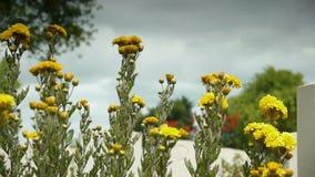 在一座加拿大纪念公墓的黄色花 股票录像