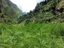 在一座吊桥前的狂放的大麻领域在喜马拉雅山 库存图片