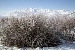 在一座多雪的冬天山结霜的灌木环境美化 免版税库存照片