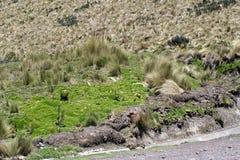 在一座山一边的路在安蒂萨纳火山生态储备,厄瓜多尔 图库摄影