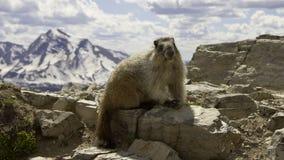 在一座山上面的土拨鼠在冰川国家公园 免版税库存图片