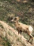 在一座山的大有角的绵羊在国家公园 免版税库存照片