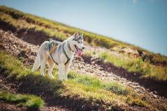 在一座山的西伯利亚爱斯基摩人狗在背景 免版税图库摄影