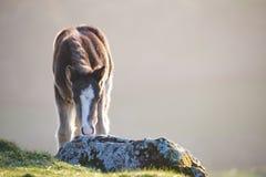 在一座山的野生小马在阳光, brecon下指引国家公园 库存照片