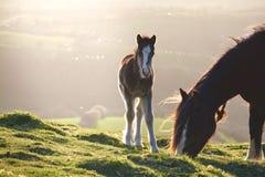 在一座山的野生小马在阳光, brecon下指引国家公园 免版税库存图片