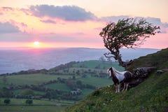 在一座山的野马在阳光, brecon下指引国家公园 库存图片