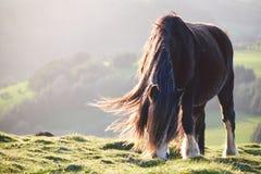 在一座山的野马在阳光, brecon下指引国家公园 免版税图库摄影