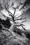 在一座山的黑白巨大的偏僻的老树与在岩石的大根 天空的剧烈的样式 免版税库存图片