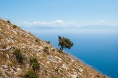 在一座陡峭的山的老橄榄树与蓝色海在背景中 免版税库存图片