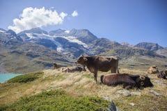 在一座高山的母牛 免版税库存照片