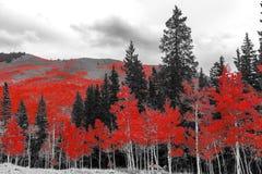 在一座黑白森林山的红色秋天树使sc环境美化 免版税库存图片