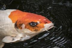 在一开放池塘、红色、白色和ora的明亮的红色Koi鱼游泳 库存照片