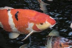 在一开放池塘、红色、白色和ora的明亮的红色Koi鱼游泳 库存图片