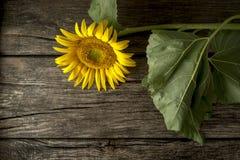 在一张土气木书桌上的美丽的开花的黄色向日葵 免版税图库摄影