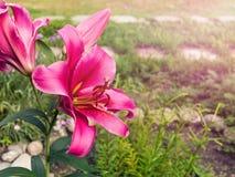 在一张床上的开花的桃红色百合在庭院里 库存图片