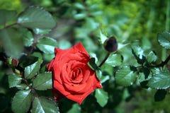 在一张床上的红色玫瑰在房子旁边 库存图片