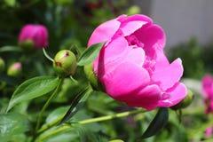 在一张床上的美丽的牡丹花在庭院里 库存照片