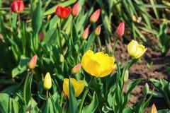 在一张床上的黄色和红色郁金香在一好日子 免版税库存图片