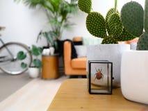 在一张木咖啡桌上的被保存的五颜六色的甲虫和仙人掌植物在一个轻的现代客厅以都市密林感觉 免版税库存图片
