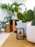 在一张木咖啡桌上的被保存的五颜六色的甲虫和仙人掌植物在一个轻的现代客厅以都市密林感觉 免版税图库摄影