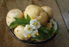 在一张木桌上的土豆 免版税图库摄影