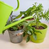 在一张木桌上的浇灌的盆的植物 免版税库存照片