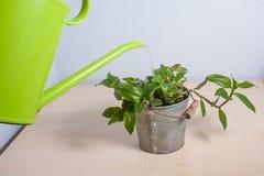 在一张木桌上的浇灌的盆的植物 图库摄影