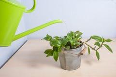 在一张木桌上的浇灌的盆的植物 免版税库存图片