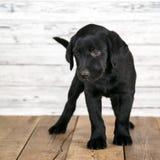 逗人喜爱的黑拉布拉多小狗 免版税图库摄影