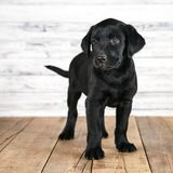 逗人喜爱的黑拉布拉多小狗 免版税库存照片