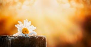 在一张木桌上的雏菊花在自然本底日落天空,网站的横幅 免版税图库摄影