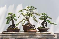 在一张桌上的四棵盆景树与鸟 图库摄影
