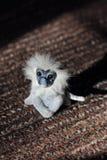 在一张棕色地毯的白色猴子 库存照片