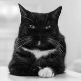 在一张白色桌上的黑白猫 免版税库存图片