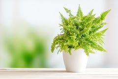 在一张白色花盆的蕨 免版税图库摄影