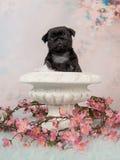 在一张白色花盆的逗人喜爱的黑哈巴狗小狗与在浪漫背景的桃红色花 库存图片