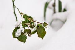 在一张积雪的花床上的罗斯芽 花雪时间冬天 降雪 浅景深,宏指令 免版税库存图片