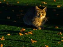在一张绿色地毯的黄色猫有很多下落的黄色的离开在秋天早晨光 库存图片