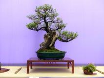 在一张美丽的桃花心木显示桌上的一棵不拘形式的挺直Escallonia盆景在展示在贝尔法斯特北爱尔兰 库存照片
