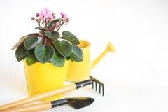 在一张花盆的紫罗兰与铁锹和犁耙在白色背景 图库摄影