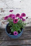 在一张花盆的紫色花在墙壁旁边 免版税库存照片