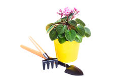 在一张花盆的紫罗兰与在白色和犁耙隔绝的铁锹 库存照片