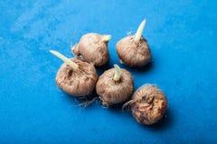 在一张蓝色桌上的发芽的种子 库存图片