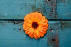 在一张破旧的木桌上的橙色大丁草花 库存图片