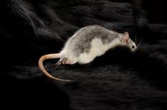 在一张黑毛皮的鼠 库存图片