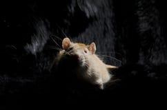 在一张黑毛皮的鼠 免版税库存图片