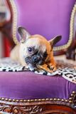在一把古色古香的扶手椅子的法国牛头犬小狗用狗食 库存照片