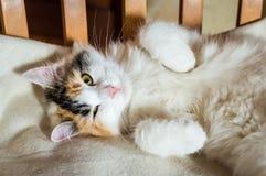 在一把木椅子的一只猫 库存照片